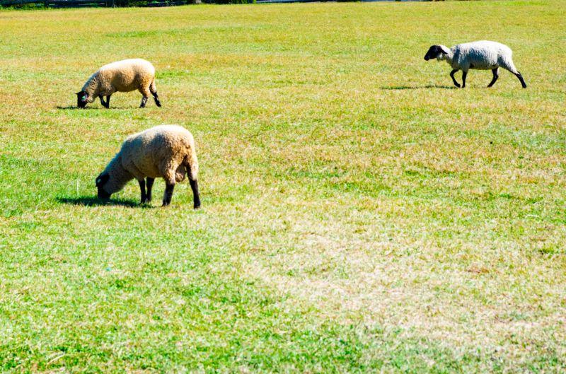 高千穂牧場の羊