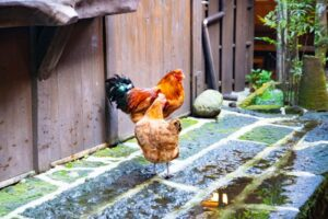 鶏が放し飼い